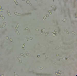 800X bright field microscope image of WLP500 starter culture.