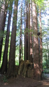 Stand of young redwoods.